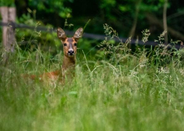 Chevreuil dans les herbes vertes de profil qui tourne la tête pour nous regarder