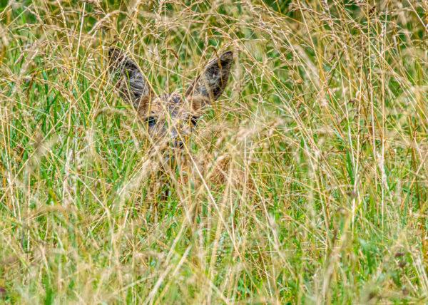 Chevreuil camouflé dans les grandes herbes. On le distingue à peine. On peut apercevoir ses grandes oreilles.