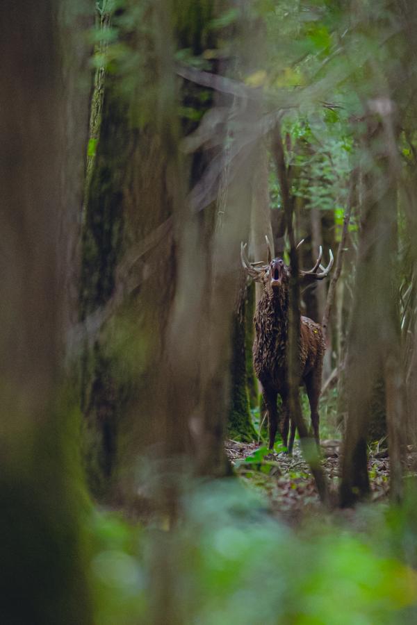 Cerf qui brame dans la forêt
