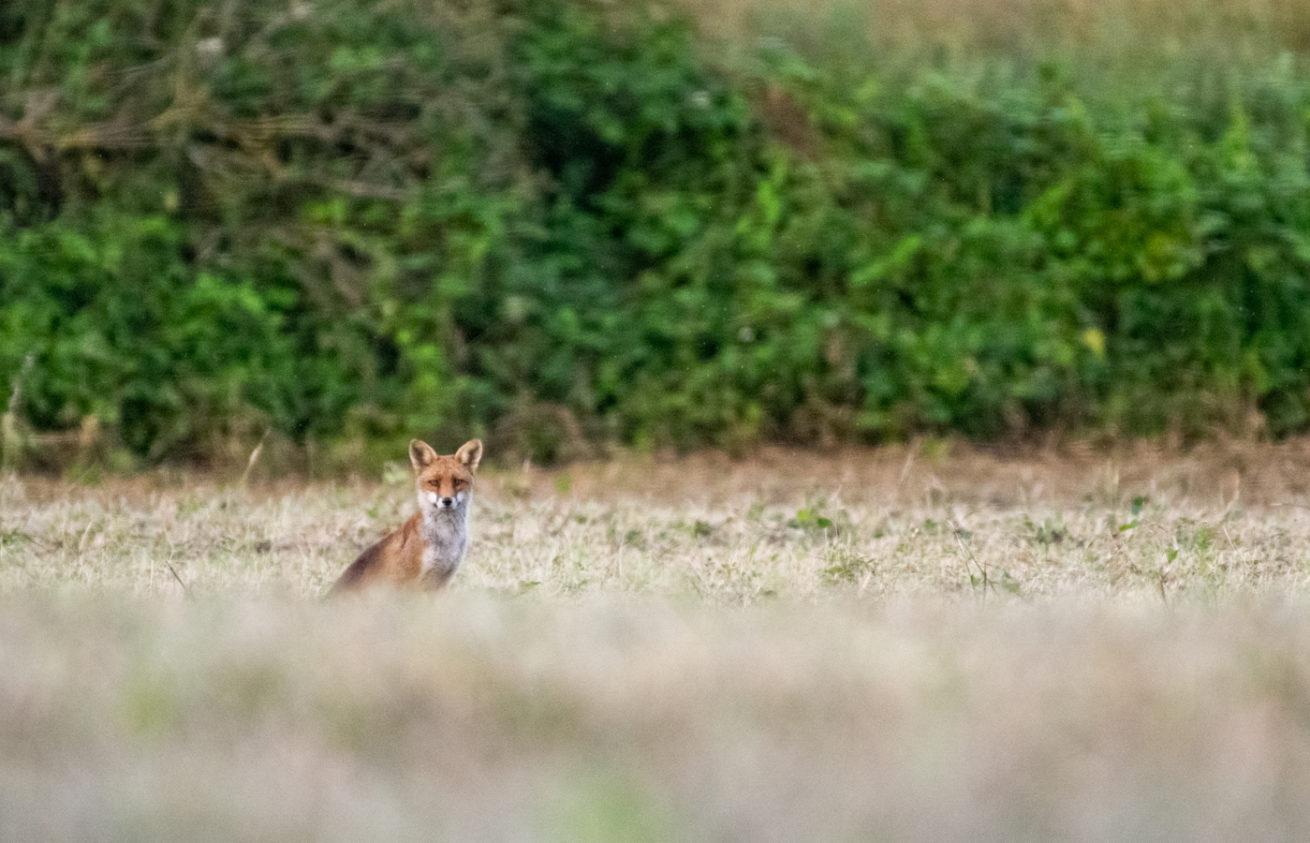 Je vous montre mon premier regard échangé avec un renard